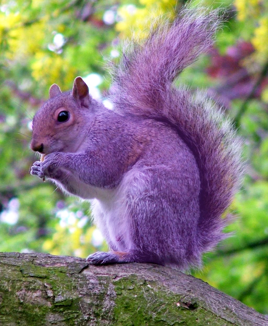 A purple squirrel